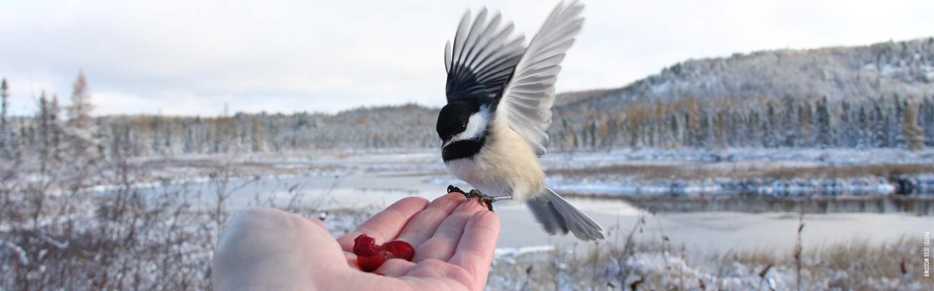 A chickadee landing on someone's hand for a snack, photo by Jess McComb