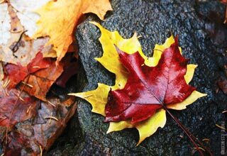 Red and yellow maple leaves on a rock.